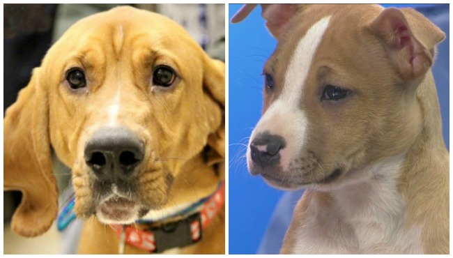 KCAS pets of the week collage Boscoe Carter 012216_184355