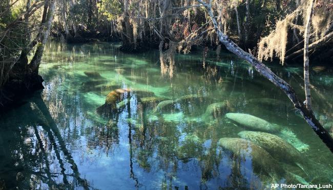 Manatees-generic-Florida-021116_190068