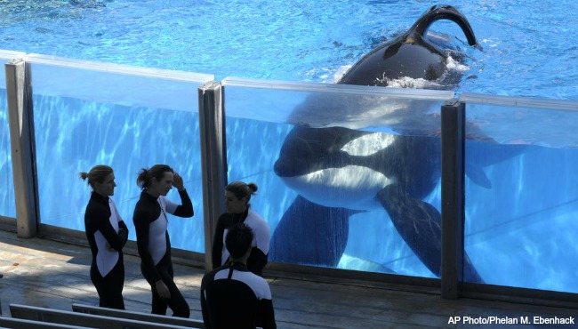 Seaworld killer whale AP 031716_199755