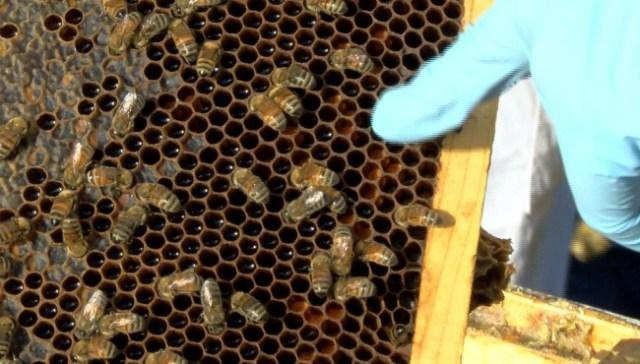 Wildlife advocates: EPA, USDA moves threaten bees, food supply