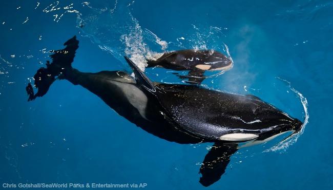 SeaWorld orca calf 041917 AP_324190