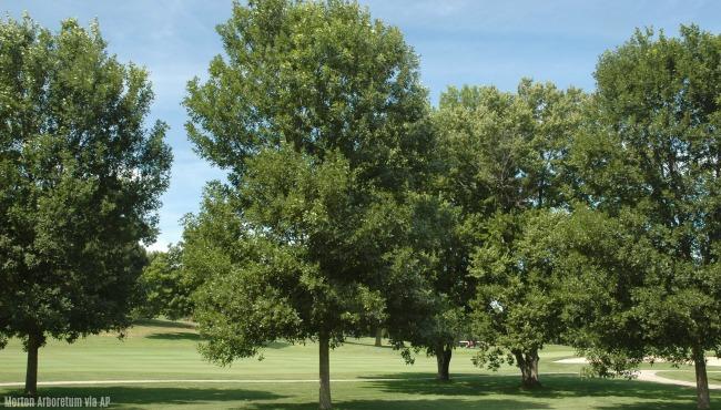 Ash trees generic AP_400430