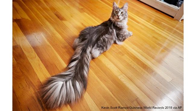 cygnus long tail world record AP_397268