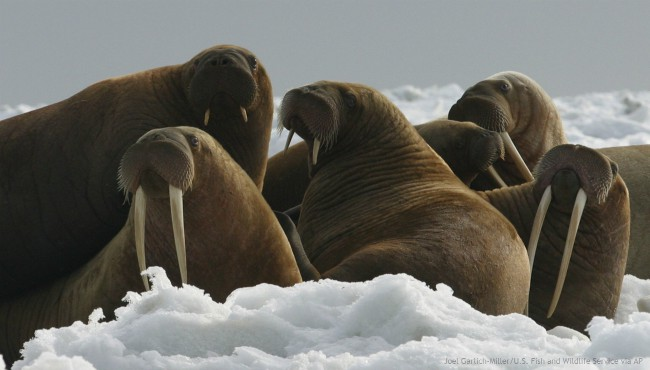 Pacific walrus_411292