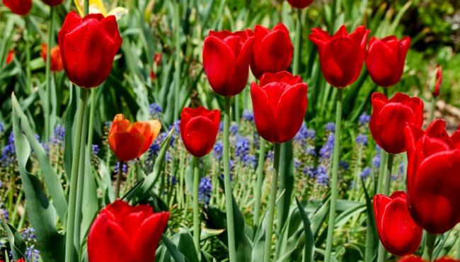 generic tulips generic tulip time_1521081240473.jpg.jpg
