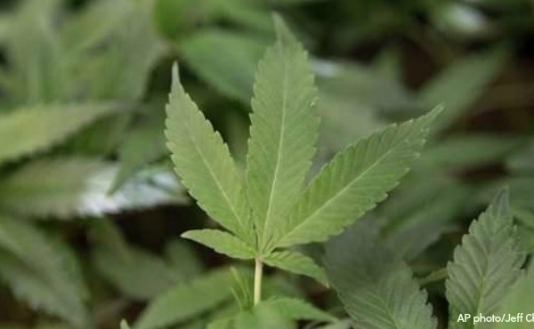 generic marijuana plant generic medical marijuana_1522353734075.jpg.jpg