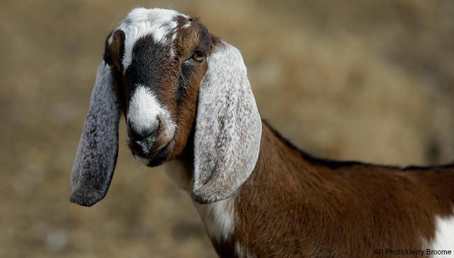 generic goat_1521425827364.jpg.jpg