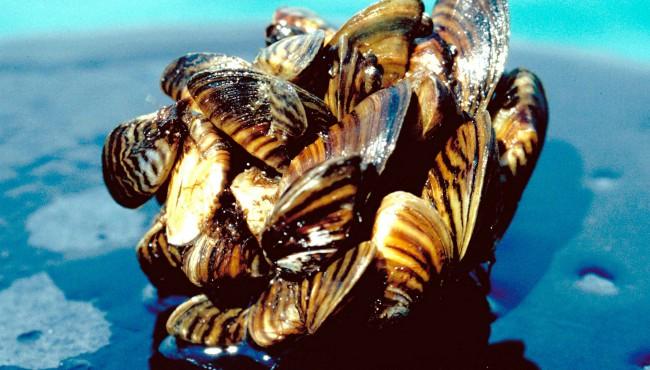 generic zebra mussels AP 113018_1543581852416.jpg.jpg