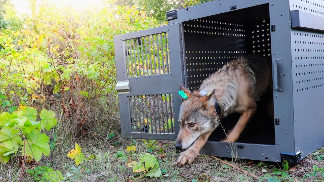 3 wolves moved to Isle Royale, helping rebuild population