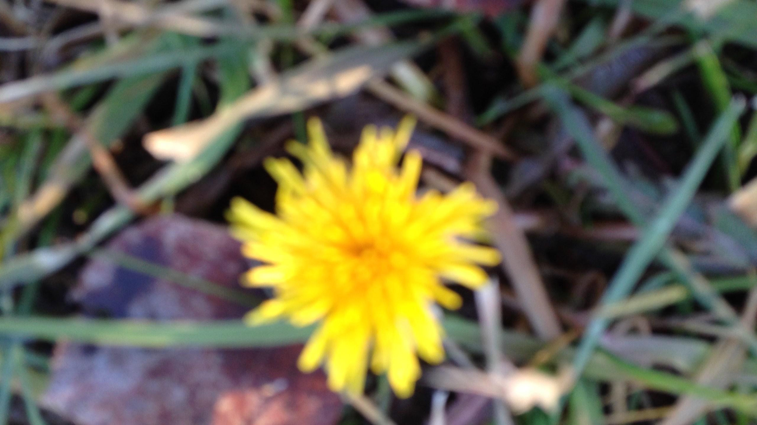 Dandelion 1 5 19 Alpine Elem. School  011_1547191357062.JPG.jpg