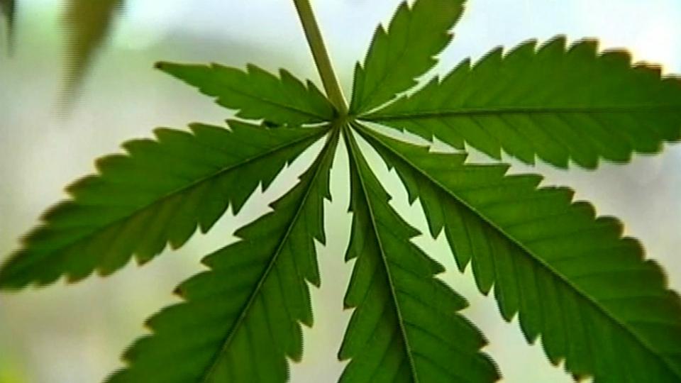 generic marijuana plant_1543969853272.jpg.jpg