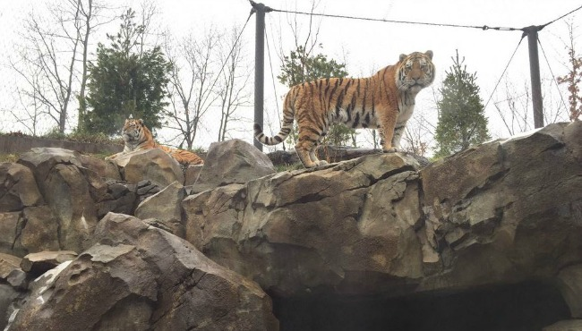 john ball zoo amur tigers 010816_180569