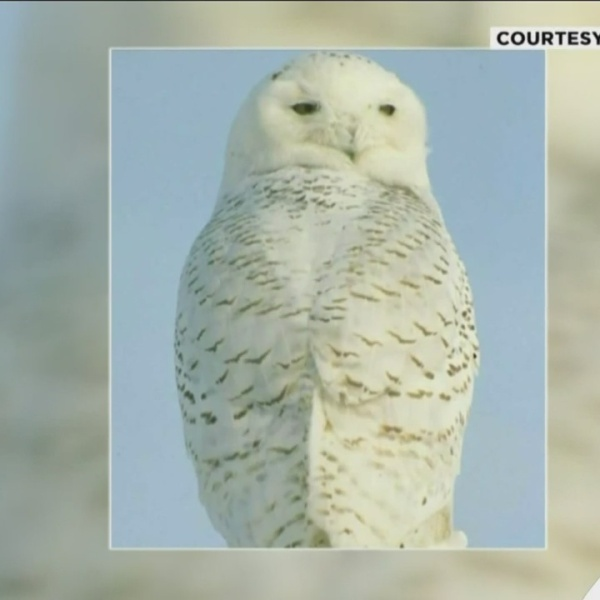 Protecting_the_Snowy_Owl_0_20190222165515