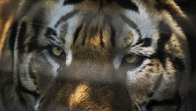 generic tiger Getty 021219_1549975379167.jpg.jpg
