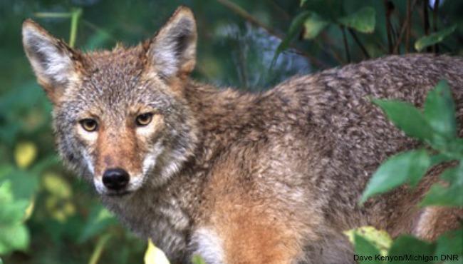 generic coyote_74140
