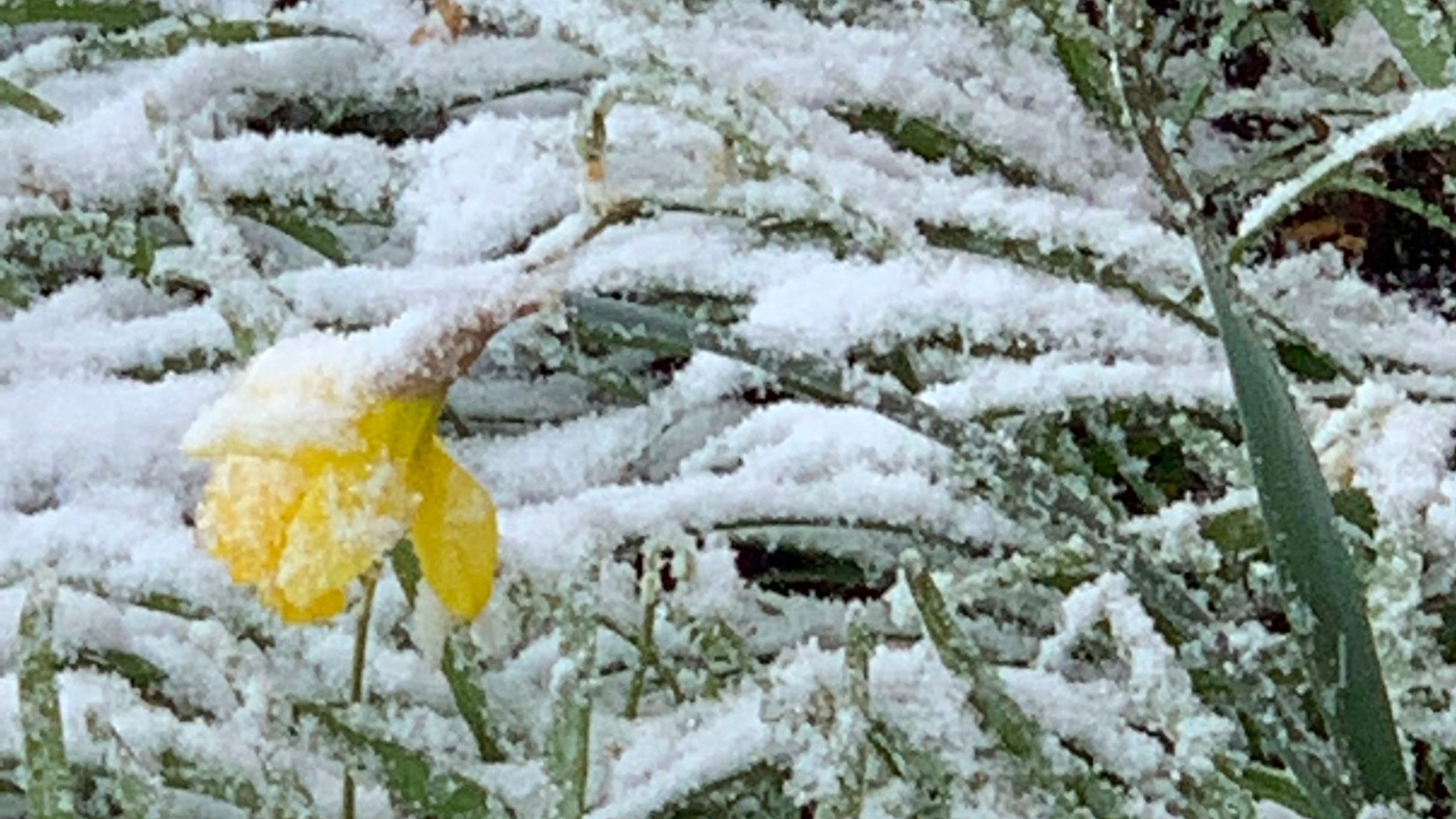 April 14 2019 snowstorm Daffodil in snow 006_1555305763363.JPG.jpg