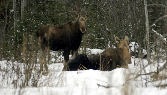 Moose Michigan DNR 043019_1556630577973.jpg.jpg
