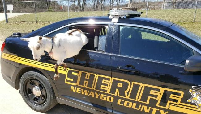 Newaygo goats 2 04202019_1555796110799.jpg.jpg