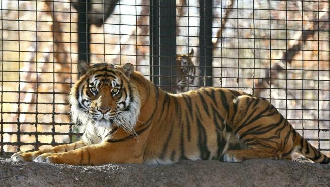 Tiger Topeka attack AP 042219_1555926363132.jpg.jpg