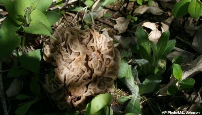 generic morel mushroom_218405