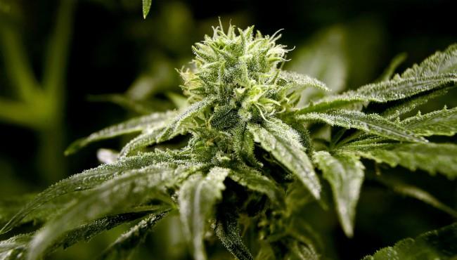 generic marijuana AP 041919_1555665285287.jpg.jpg