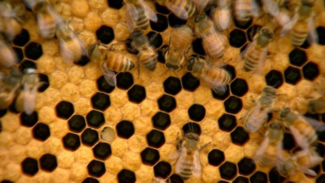generic honeybees_216957