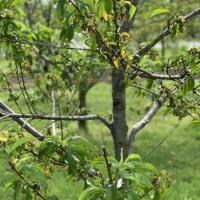 dead peach tree 06082019_1560048480449.jpg.jpg
