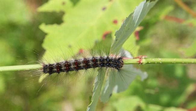 gypsy moth caterpillar DNR_1560358287632.jpg.jpg