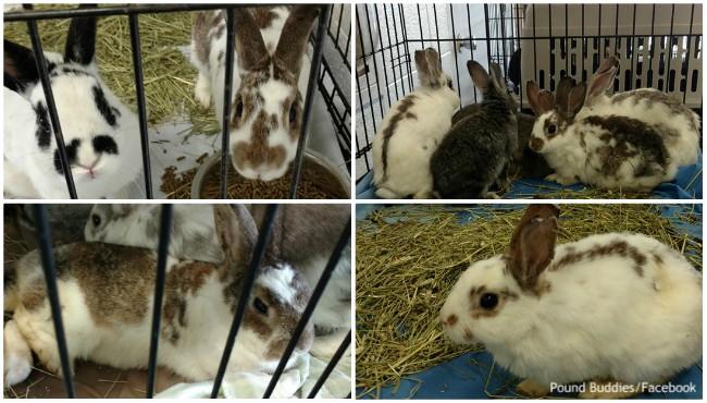 Pound Buddies rescued rabbits 062119