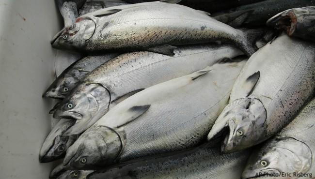 Salmon in bin