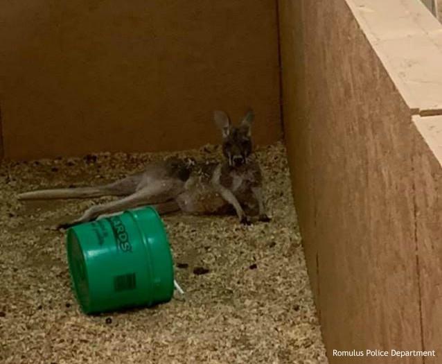 Kangaroo lying in woodchips