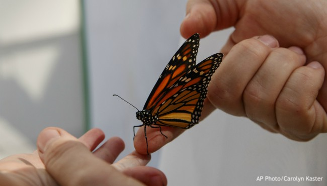 Monarch butterfly on adult hand with child's hand outstretched
