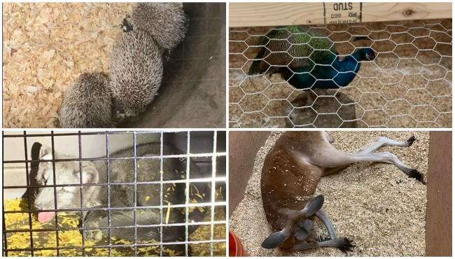 Hedgehogs peacock Arctic fox and kangaroo photos