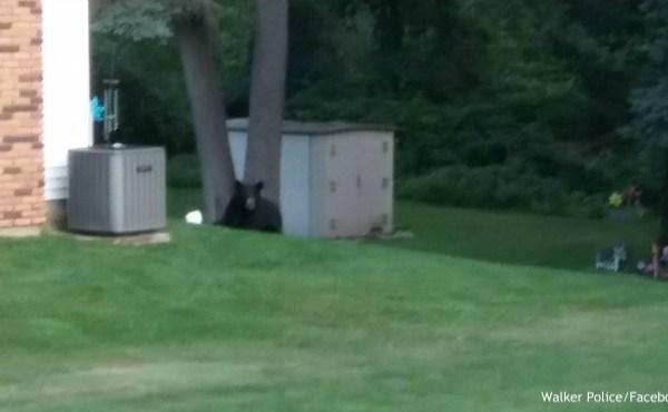 Black bear laying in grassy yard