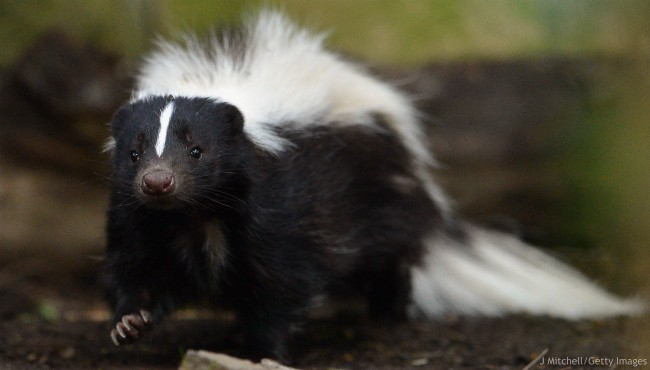 Flo the skunk arrives at Edinburgh Zoo from Amneville Zoo in France on June 1, 2012 in Edinburgh, Scotland.