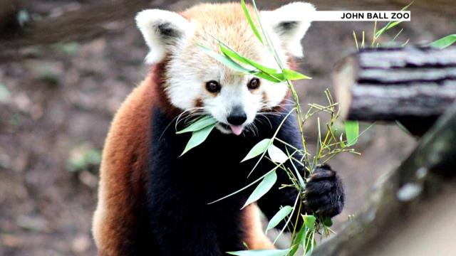 'Cute and fun': How to meet GR zoo's red pandas