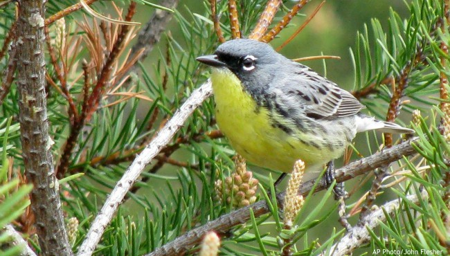This May 19, 2008, file photo shows a Kirtland's warbler, an endangered songbird that lives in the jack pine forests of northern Michigan, near Mio, Mich. (AP Photo/John Flesher File)