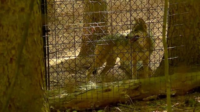 Binder Park Zoo building new Mexican gray wolf habitat