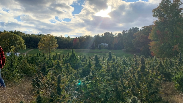 New farmers have high hopes for first hemp harvest