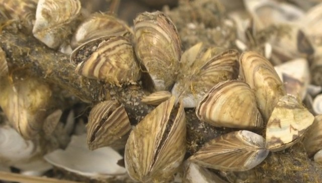Researchers discover natural toxin fatal to invasive mussels