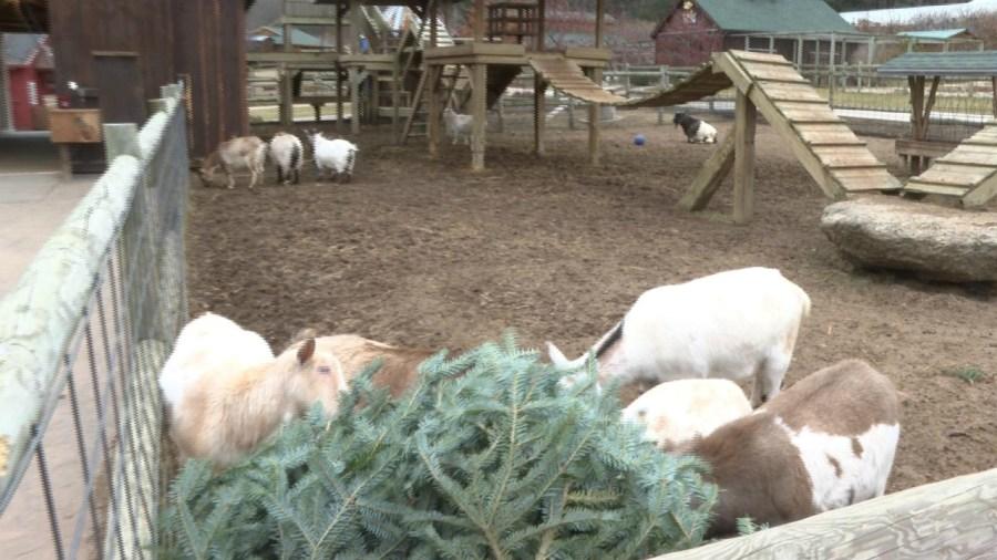 goat christmas trees