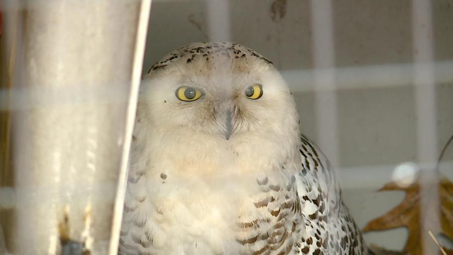 snowy owl wildlife rehab center