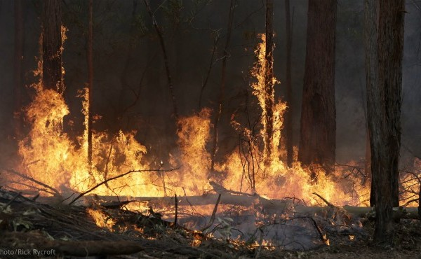 Flames from a controlled fire burn up tree trunks as firefighters work at building a containment line at a wildfire near Bodalla, Australia, Sunday, Jan. 12, 2020. (AP Photo/Rick Rycroft)