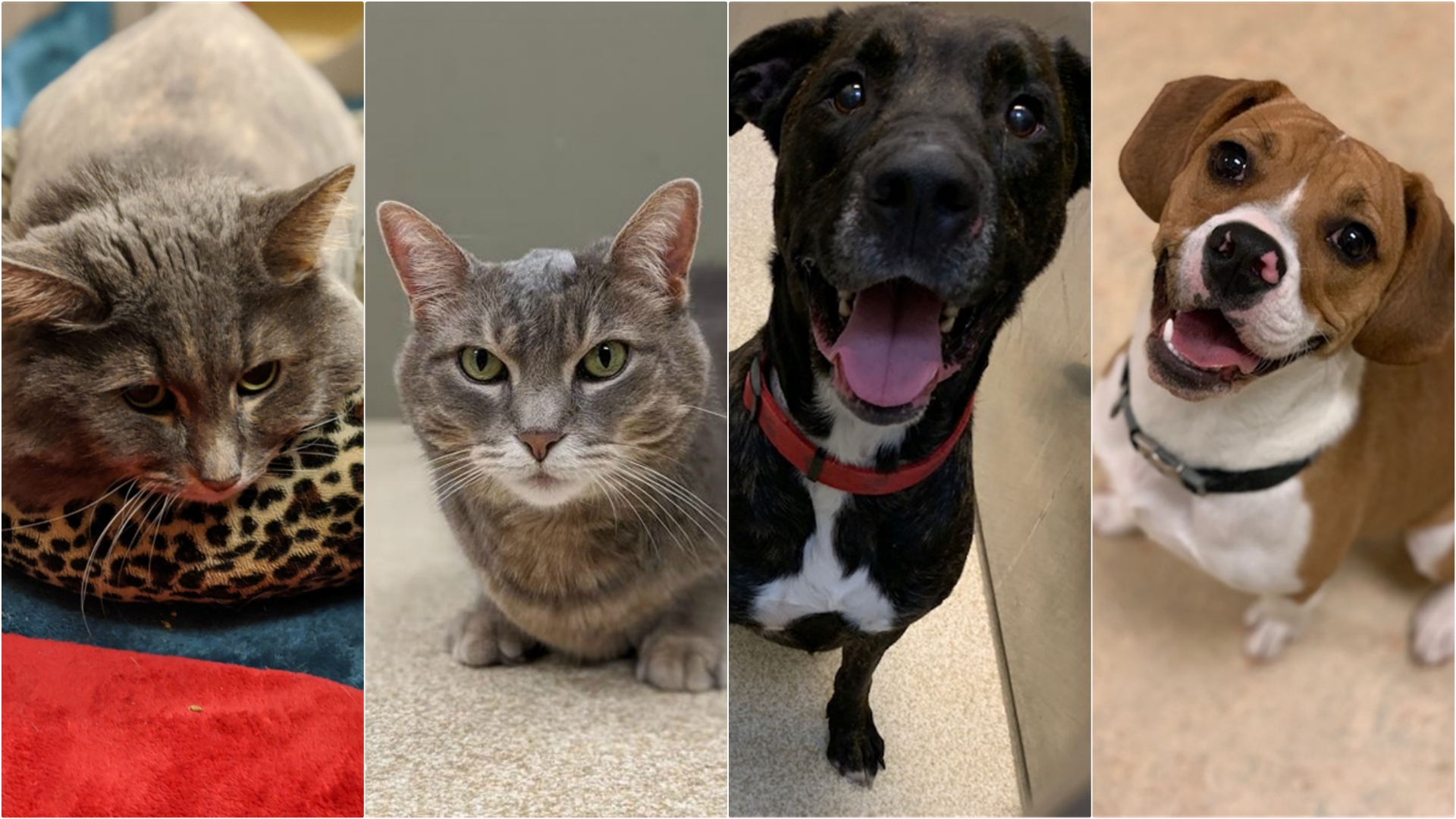 kcas pets of the week