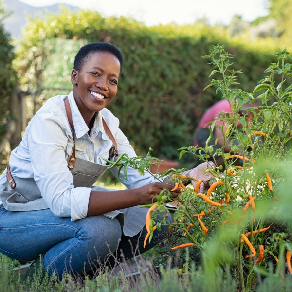 Portrait of mature woman picking vegetable from backyard garden. Cheerful black woman taking care of her plants in vegetable garden while looking at camera. Proud african american farmer harvesting vegetables in a basket.