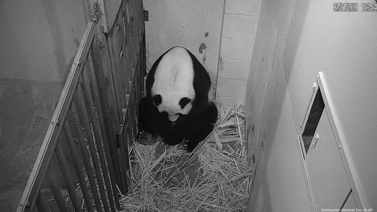 In this image from video provided by the Smithsonian National Zoo, Mei Xiang is seen after giving birth to a Giant Panda cub Friday evening, Aug. 21, 2020, in Washington. The cub is Mei Xiang's fourth. Her first three offspring, Tai Shan, Bao Bao and Bei Bei, were transported to China at age 4 under an agreement with the Chinese government. (Smithsonian National Zoo via AP)