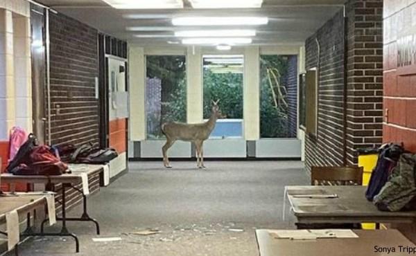 Deer comes into Ken-O-Sha Park School in Grand Rapids on Sept. 24, 2020. (Courtesy of Sonya Tripple, Grand Rapids Public Schools first/second grade teacher)